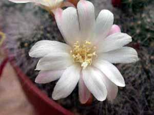 Aylostera_albiflora