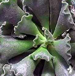 Адромискус гребенчатый