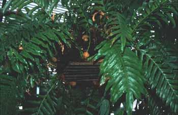 Aglaomorpha meyeniana