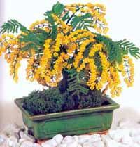Acacia_bonsai