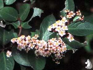 Acocanthera