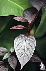 alternanthera_dentata