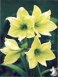 amaryllis