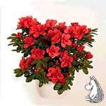 Rhododendrom 'Avenir'