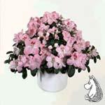 Rhododendrom 'Bertina'