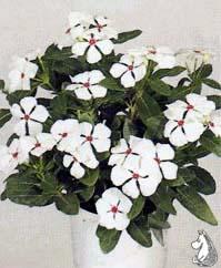 Catharanthus