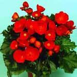 Begonia6.jpg (11109 bytes)
