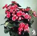 Begonia_'Bavaria'
