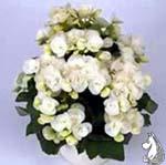 Begonia_'Clara'