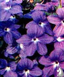Browallia