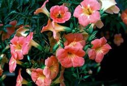 campsis-grandiflora