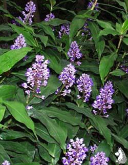 DichorisandraThyrsiflora