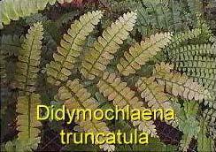 Didymochlaena_truncatula