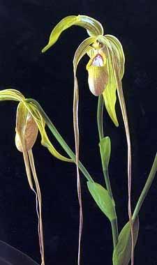 Phragmipedium Rolfe