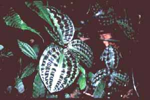 Geogenanthus