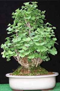Ginkgo_bonsai