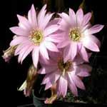 Lobivia_wrightiana_chilensis