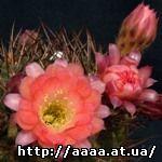 Lobivia_arachnacantha _arreullasensis