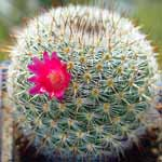 Mammillaria_albidula
