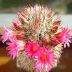 Mammillaria_backebergiana