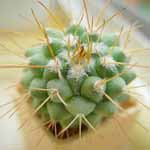 Mammillaria_crassa