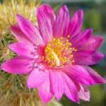 Mammillaria_deherdtiana