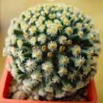 Mammillaria_dumetorum