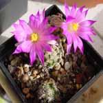 Mammillaria_hernandezii
