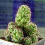 Mammillaria_mazatlanensis