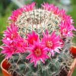Mammillaria_mendeliana