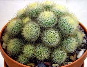 Mammillaria_pennispinosa_nazasensis