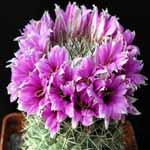 Mammillaria_schumannii_Hildmann