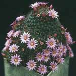 Mammillaria_zeilmanniana_Boedeker