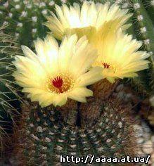 Notocactus_rutilans