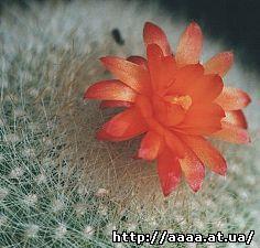 Notocactus_crassigibbus