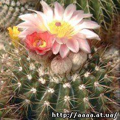 Notocactus_buiningii_Buxbaum