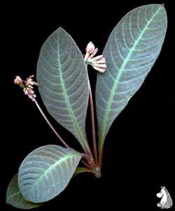 Hoffmannia