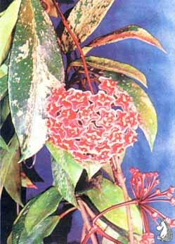 Hoya carnoza