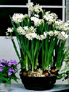 Narcissus_tazetta