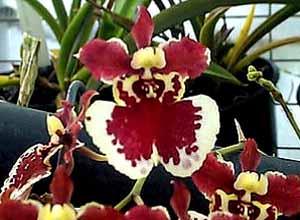 Oncidium_Hawaiian_Gold_Firecraqcker