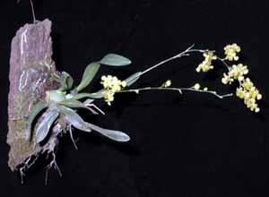 Oncidium_cheirophorum