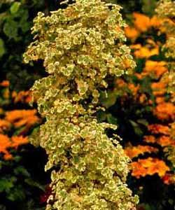Pelargonium_graveolens