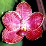 Phalaenopsis_Coral_isles