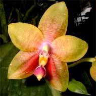 Phalaenopsis_Princess_Kaiulani