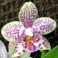 Phalaenopsis_hybrid